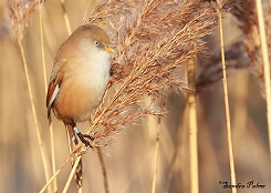young female bearded tit photo