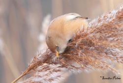 bearded tit bird