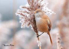 bearded tit reedling