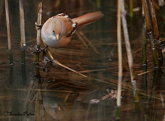 bearded tit reflection