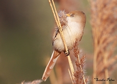 bearded tit reed