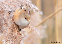 bearded tit bird photos