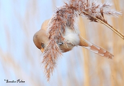 bearded tit winter