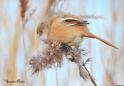 bearded tit feeding