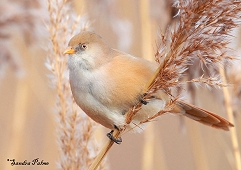 bearded tit posing photo