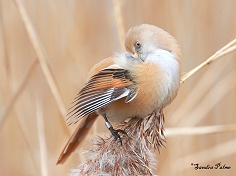 bearded tit preening