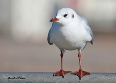 black-headed gull winter plumage