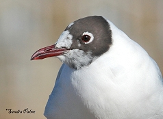 black-headed gull summer plumage