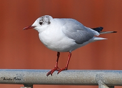 black-headed gull Sussex