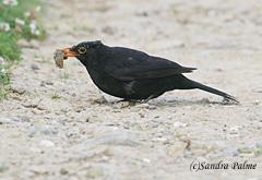 blackbird feeding on slug