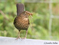 female blackbird worms