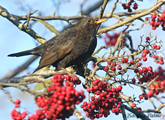 female blackbird berries