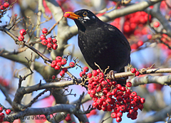 blackbird berries