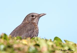 Blackbird close-up