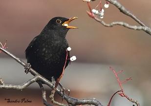 Blackbird eating berry