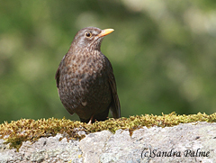 female blackbird Turdus merula