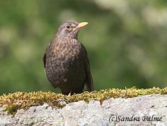 female blackbird Turdus merula