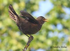 blackbird alarm calling