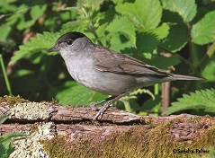 male blackcap spring