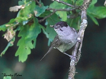 male blackcap with insect food