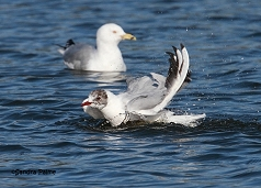 black-headed gull having a wash