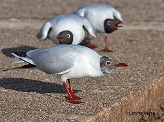 black-headed gulls displaying photo