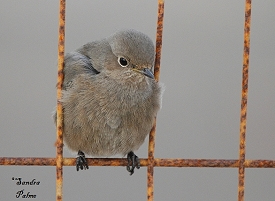 Black Redstart on fence
