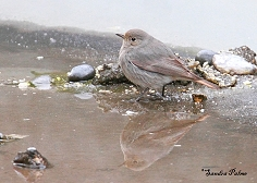 female black redstart reflection