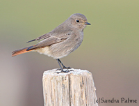 Black Redstart female immature type