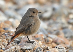 Black Redstart on beach