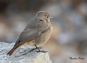 Female Black Redstart photo