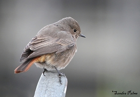 Black Redstart picture