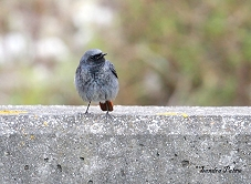 male black redstart photo