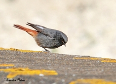 black redstart bird