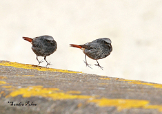 black redstart action photo