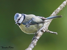 "blue tit"" height="