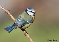 blue tit photos