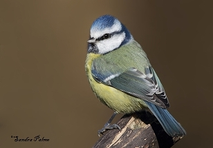 Blue Tit photo height=