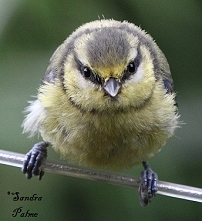 Cute Blue Tit height=