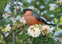 male bullfinch spring