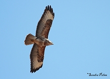 Common Buzzard photo
