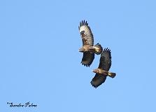 Buzzards photo