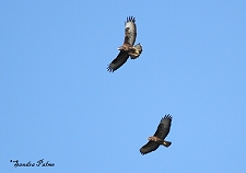 Buzzards photo