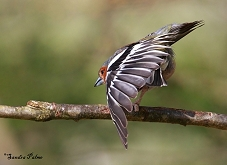 chaffinch stretching