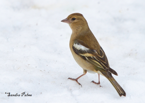 Chaffinch - bird photos by Sandra Palme