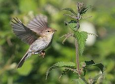 chiffchaff in flight