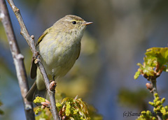 chiffchaff spring bird