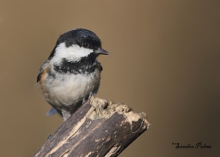 Coal tit photo height=