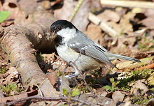 Coal tit with nesting material