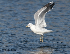 common gull Larus canus in flight